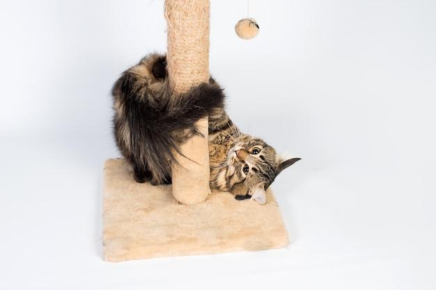 Gatto che gioca con un graffio di gatto su uno sfondo bianco