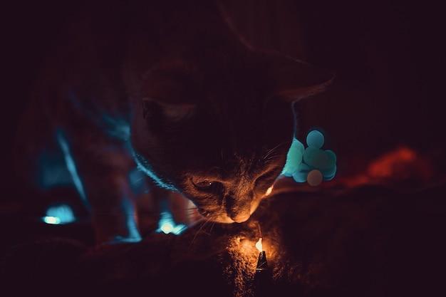 Gatto che gioca con luci e rose