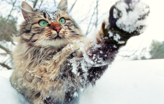 Gatto che gioca con la neve. gatto che cammina all'aperto nella neve in inverno