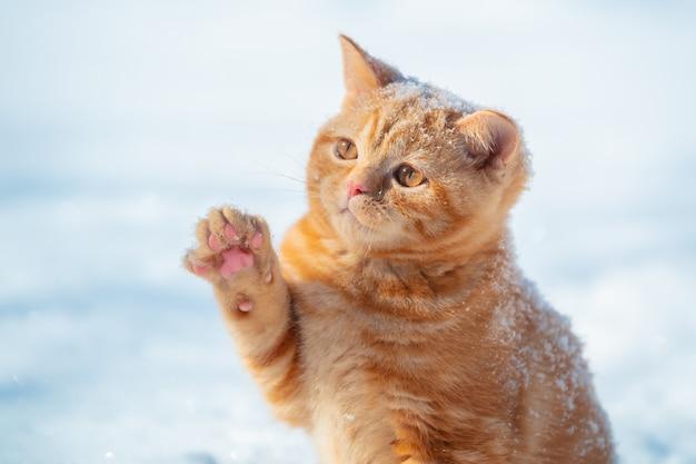 Gatto che gioca con la neve. piccolo gattino allo zenzero con una zampa in aria. gatto giocoso che cammina all'aperto nella neve in inverno