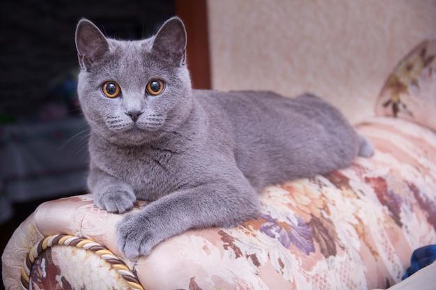 Gatto che si rilassa sul divano. gatto grigio sdraiato sul divano. il gatto guarda avanti