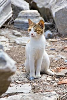 Gatto alle rovine dell'antica città di efeso turchia