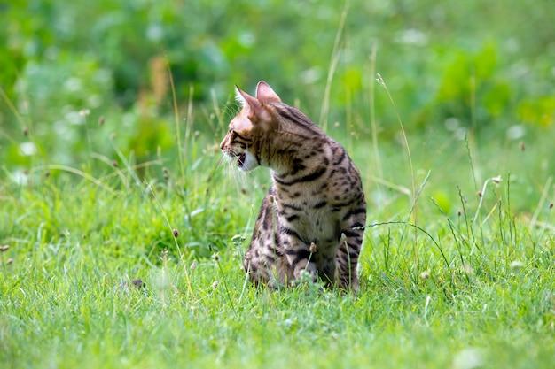 Il gatto corre su un prato