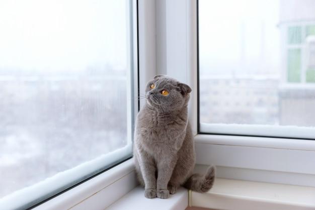 Gatto di razza scozzese britannica avvolto in una sciarpa calda guardando fuori dalla finestra la neve