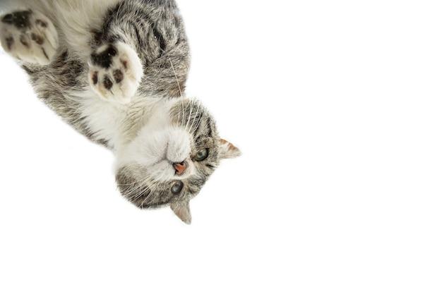 Gatto in piedi su vetro su sfondo bianco