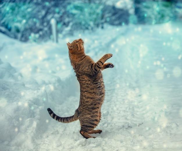 Il gatto sta sulle zampe posteriori nella neve e guarda i fiocchi di neve che cadono