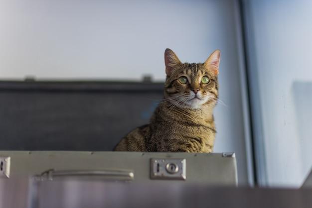 Gatto in valigia - gatto sdraiato all'interno del bagaglio da viaggio - gatto del bengala.