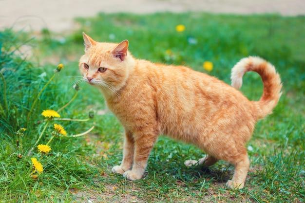 Gatto che cammina all'aperto su un prato
