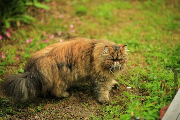 Il gatto cammina nel giardino estivo. gatto persiano birichino