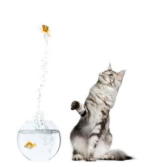 Gatto rosso di sorveglianza del gatto che salta dalla ciotola del pesce rosso contro il fondo bianco