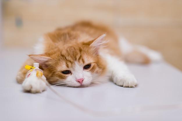 Gatto con il contagoccia sulla tavola in clinica veterinaria.