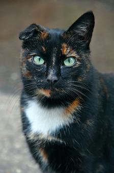 Gatto senza orecchio. un gatto salvato e recuperato senza orecchio