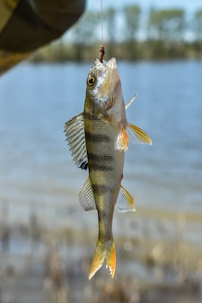 Catturare pesci di fiume. pesce pescato appeso alla lenza. persico d'acqua dolce catturato all'amo