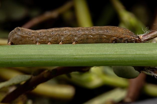 Bruco del genere spodoptera che mangia una foglia di erba cipollina della specie allium schoenoprasum