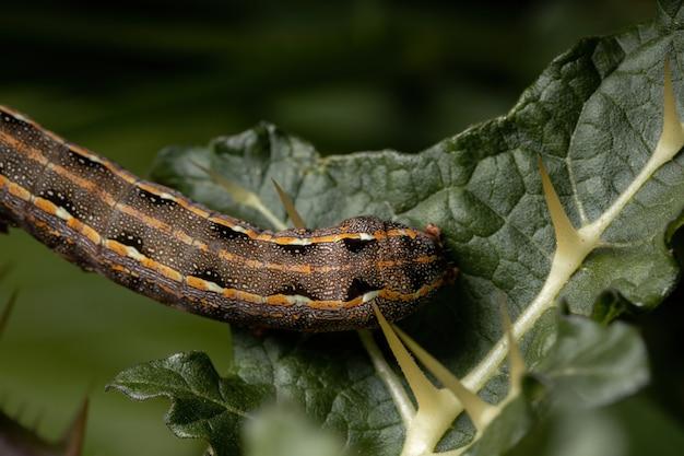 Bruco della specie spodoptera cosmioides mangia una foglia di una pianta del genere solanum