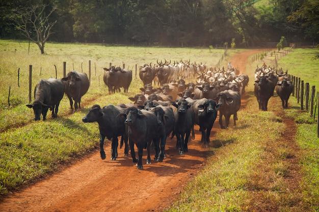 Bovini di mucche con le corna che camminano in una strada sterrata. giorno soleggiato.