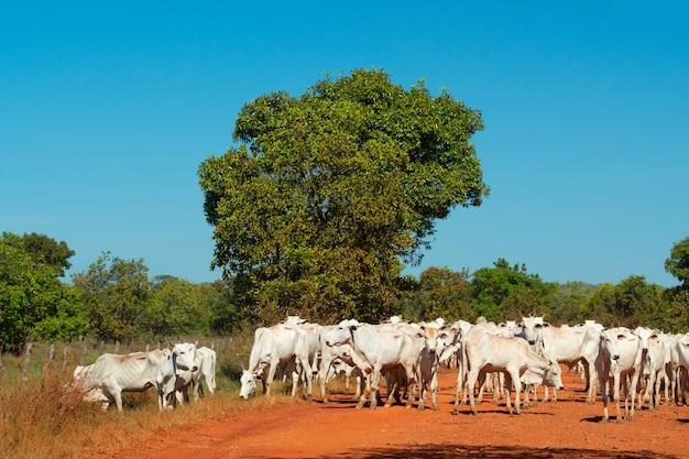 Bestiame che attraversa una strada di fango nella zona umida in pocone mato grosso brazil