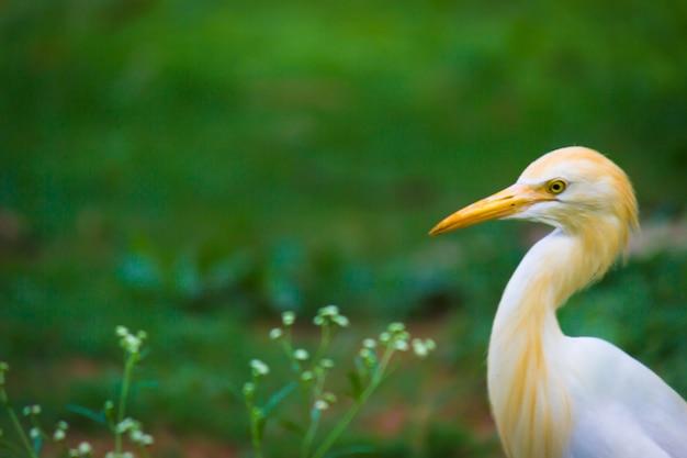 Airone guardabuoi o noto come bubulcus ibis in piedi saldamente vicino alle piante per insetti e parassiti