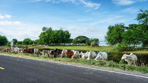 Allevamento di bestiame thai brahman sul ciglio della strada nelle zone rurali della thailandia