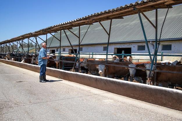 Cattleman che controlla un gruppo di forti tori muscolari animali domestici per la produzione di carne in azienda agricola biologica