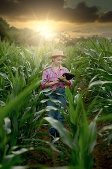 Contadino caucasico che cammina nel campo di mais ed esamina il raccolto prima della raccolta al tramonto. agricoltura - produzione alimentare, concetto di raccolta