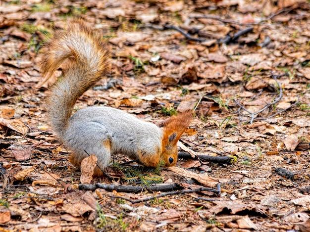 Cauto e divertente scoiattolo che cerca cibo