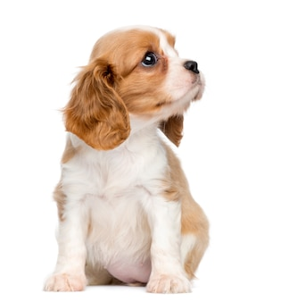 Cavalier king charles puppy, seduto e guardando