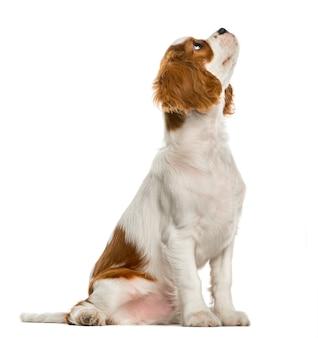 Cucciolo di cavalier king charles spaniel che osserva in su, isolato su bianco