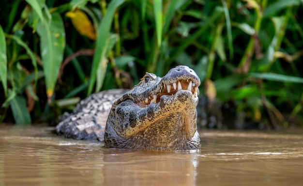 Cayman tiene la testa sopra l'acqua e apre la bocca. avvicinamento.