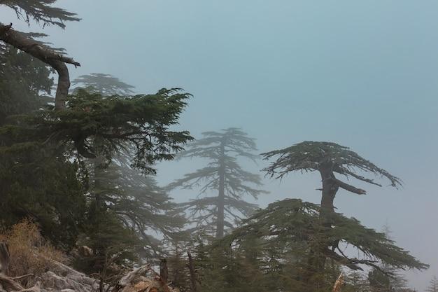 Alberi di cedro in montagna, turchia