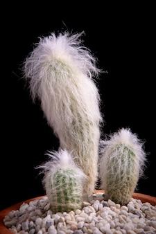 Cephalocereus senilis o vecchio cactus peloso in vaso da piantare su sfondo nero