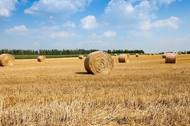 Raccolta di cereali, estate - campo agricolo in cui viene effettuata la raccolta di cereali, bielorussia, estate