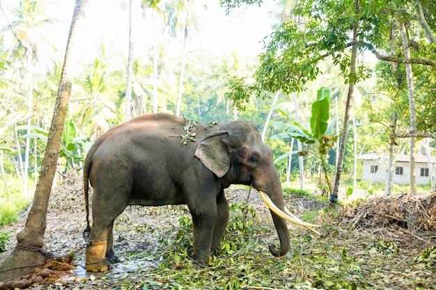 Elefante selvaggio di ceylon nella giungla tropicale