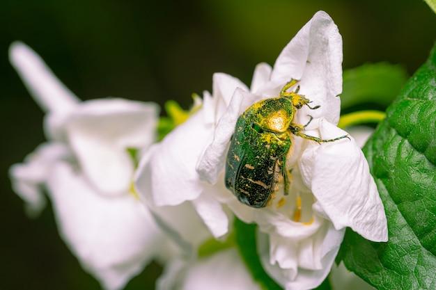 Lo scarabeo di rinforzo si siede sui fiori del gelsomino