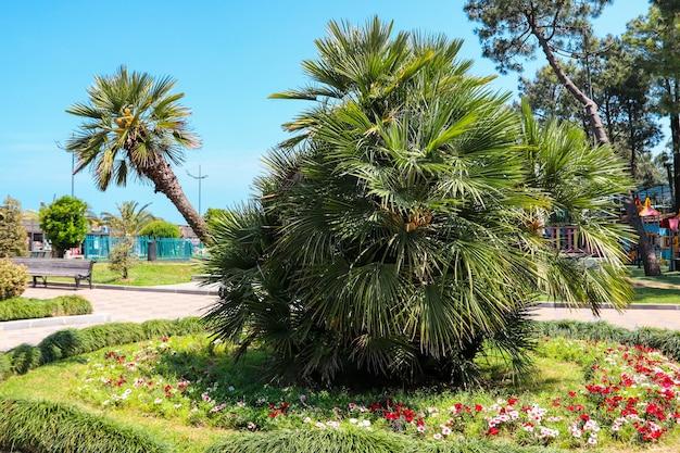 Chamaerops humilis, variamente chiamata palma europea del ventaglio o palma nana mediterranea nel viale di batumi, georgia