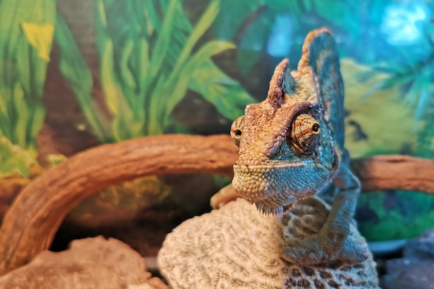 Camaleonte da vicino. bellissimo rettile camaleonte multicolore con pelle colorata e luminosa, animale domestico tropicale esotico
