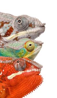 Chameleon furcifer pardalis - parte anteriore di ambilobein su un bianco isolato Foto Premium