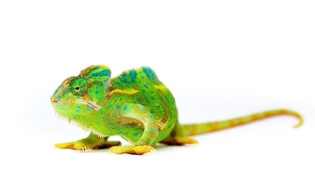 Camaleonte isolato su bianco