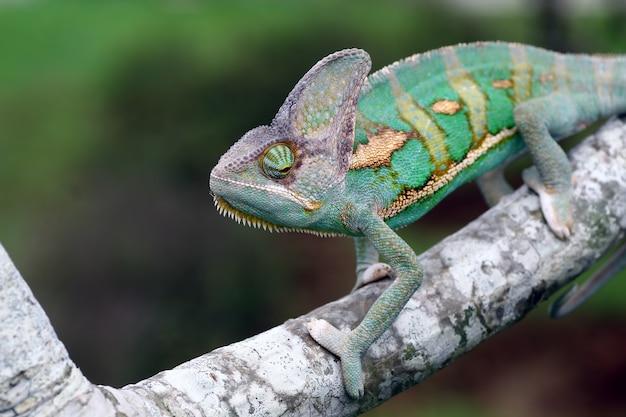Camaleonte velato sul ramo animale da vicino