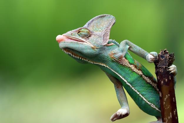 Camaleonte velato appeso a un ramo con sfondo sfocato