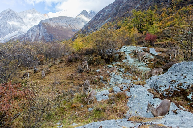 Camoscio, rupicapra rupicapra, sulla collina rocciosa, foresta