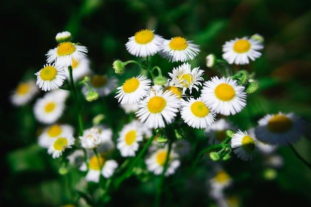 Camomilla su uno sfondo di erba verde. fiori di campo nudi