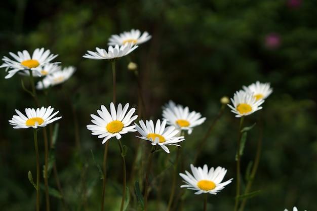 Brunch di fioritura dei fiori della camomilla in giardino