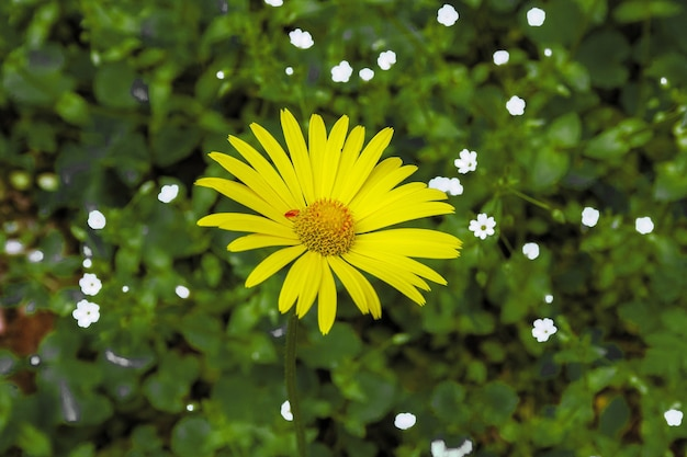 Camomilla, margherita, campo giallo su una radura verde