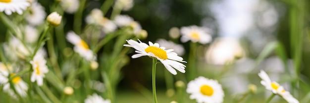 Cespuglio di fiori bianchi di camomilla o margherita in piena fioritura su uno sfondo di foglie verdi ed erba sul campo in una giornata estiva. striscione