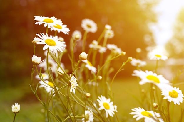 Cespuglio di fiori bianchi di camomilla o margherita in piena fioritura su uno sfondo di foglie verdi ed erba sul campo in una giornata estiva. bagliore
