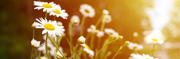 Cespuglio di fiori bianchi di camomilla o margherita in piena fioritura su uno sfondo di foglie verdi ed erba