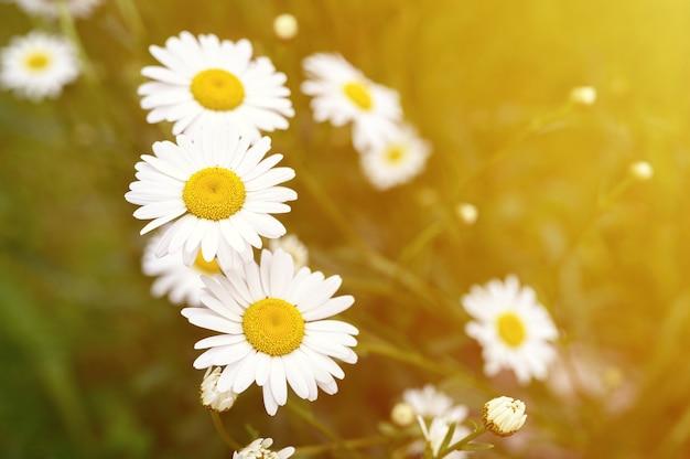 Cespuglio di fiori bianchi di camomilla o margherita in piena fioritura su una superficie di foglie verdi ed erba