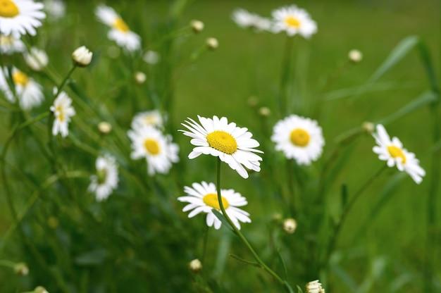 Cespuglio di fiori bianchi di camomilla o margherita in piena fioritura su una superficie di foglie verdi ed erba Foto Premium