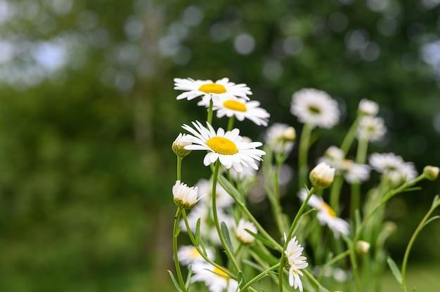 Cespuglio di fiori bianchi di camomilla o margherita in piena fioritura su una superficie di foglie verdi
